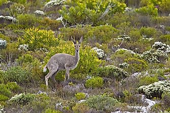 Unique Species Of Africa: The Grey rhebok
