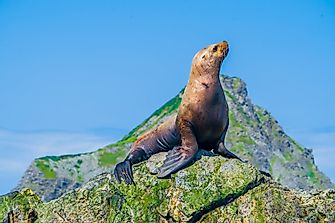 Steller Sea Lion Facts: Animals of the Oceans