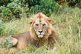 The Story Of The Asiatic Lion: Surviving Only In Gujarat, India