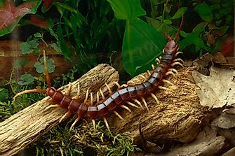 What Is The World's Largest Centipede?