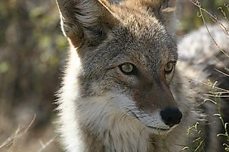 Coyote Facts: Animals of North America