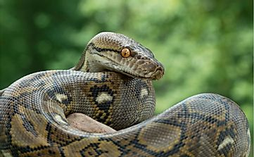 What Are The Differences Between A Boa And A Python?