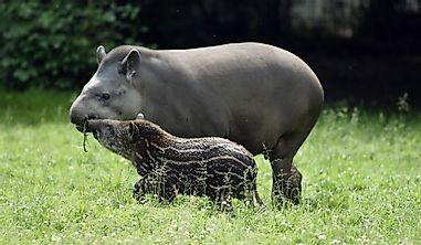 Why Is The Brazilian Tapir A Threatened Species?