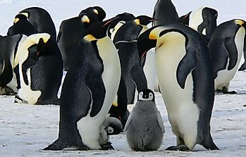 How Many Types Of Penguins Live In The World Today?