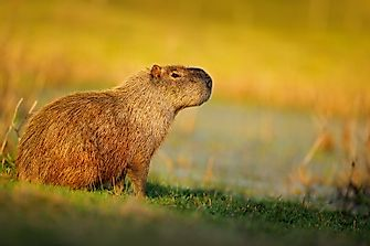 10 Delightful Facts About Capybaras