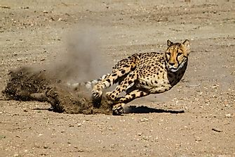 Cheetah Population Worldwide: Important Facts And Figures