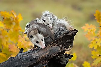Do Opossums (Possums) Make Good Pets?