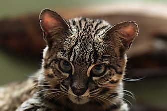 10 Lesser Known Wild Cats
