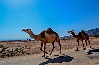 How Many Types Of Camels Live In The World Today?
