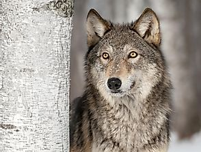 The Gray Wolf: Animals of North America