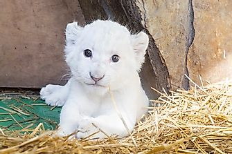 What Is The White Lion And Where Are White Lions Found?
