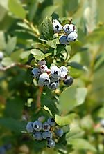 Where Are Blueberries Grown?
