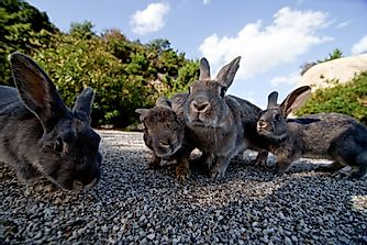 What Is Unique About Japan's Okunoshima Island?