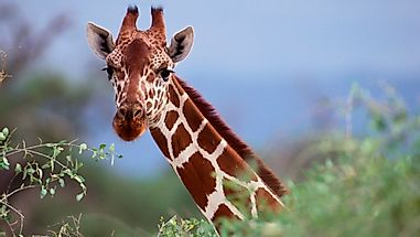 Are Giraffes Really Endangered?