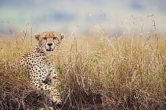 How Many Types Of Cheetahs Are There?