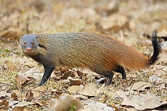 Mongoose Vs Cobra: Who Would Win?