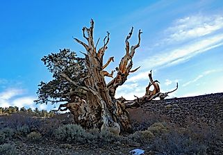 What Is The Oldest Living Thing In The World?