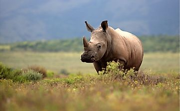 Where Do White Rhinos Live?