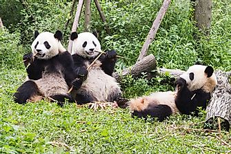 Which Are The Best Places To See Giant Pandas In China?
