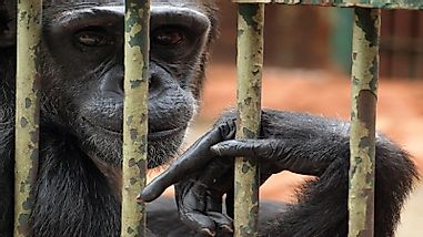 Is Keeping Wild Animals In Zoos Unethical?: Arguments For And Against