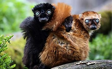 Gorgeous Blue-eyed Black Lemurs: Can They Be Saved?