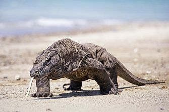 The Largest Lizards in the World