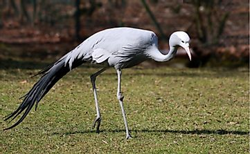 Blue Crane, The National Bird Of South Africa