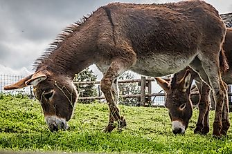 What Are The Differences Between A Mule And A Donkey?