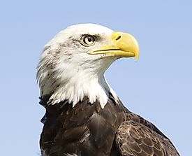 Bald Eagle Facts: Animals of North America