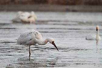 Population Of Siberian Cranes: Important Facts And Figures