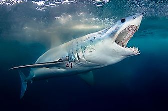 What Three Senses Do Sharks Have That Humans Don't?
