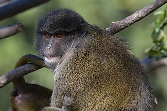 Unique Species Of Africa: The Allen's Swamp Monkey
