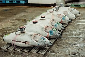 What Is Japan Doing To Conserve Bluefin Tuna?