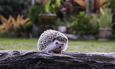 Hedgehog Facts - Animals of the World