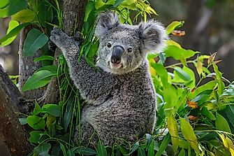 Are Koalas Now Extinct?
