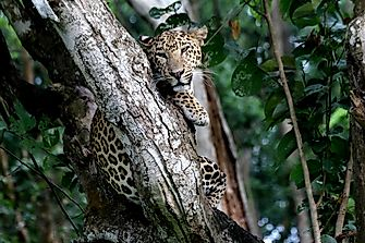 "Protecting the Leopard Population of India: Could ""Project Leopard"" Be the Answer?"