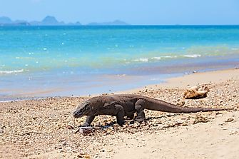 Best Places In The World To See Komodo Dragons In Their Natural Environment