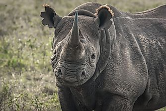 Where Do Black Rhinos Live?