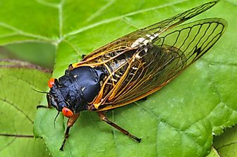 What Are Periodical Cicadas Famous For?