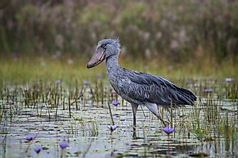 Shoebill Facts - Animals of Africa