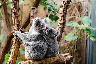 How Many Koalas Live In Australia?