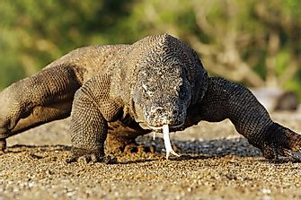 How Many Komodo Dragons Are Left In The World?