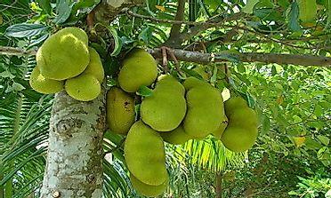 jackfruit seed oil