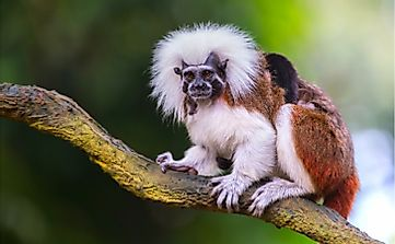 The 15 Species Of Critically Endangered New World Monkeys