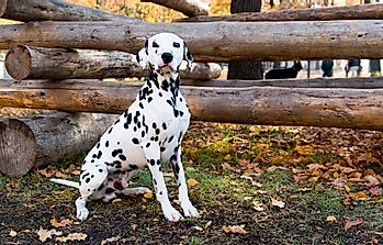 Why Were Dalmatians Used By Fire Stations?