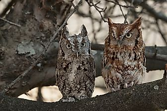 Eastern Screech Owl Facts: Animals of North America