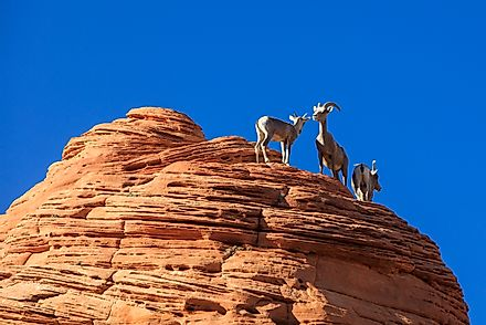 Desert Bighorn Sheep in Zion, Utah