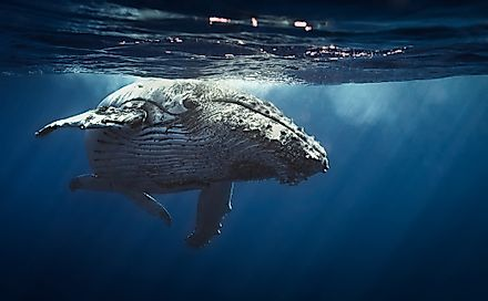Humpback whales are part of the Rorqual (Balaenopteridae) whale family.