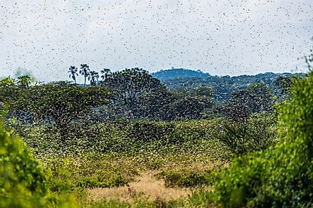Samburu landscape viewed through swarm of invasive, destructive Desert Locusts. This flying pest is difficult to control and spreads quickly, up to 150km (90 miles) per day. Image credit: Jen Watson/Shutterstock.com