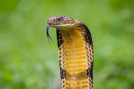 The infamous and imposing King Cobra.
